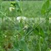 Горох посевной (Pisum sativum L.)