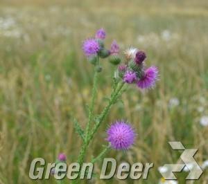 Бодяк полевой - Cirsium arvense (L.) Scop. Взрослое растение.