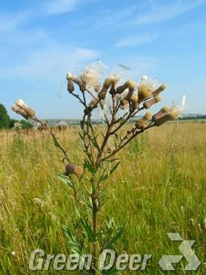 Бодяк щетинистый. - Cirsium setosum (Willd.) Bess.