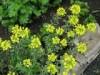 Бурачок скальный - Alissum saxatile
