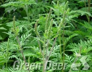 Амброзия полыннолистная - Ambrosia artemisiifolia L. Взрослое растение