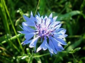 Василек синий - Centaurea cyanus