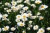 Нивяник обыкновенный - Chrysanthemum leucanthemum