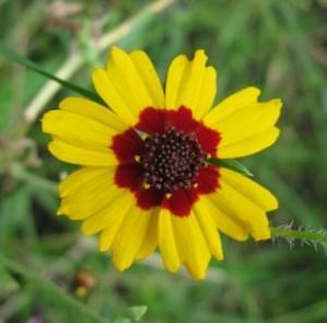 Кореопсис красильный - Coreopsis tinctoria