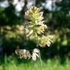 Ежа сборная (Dactylis glomerata L.)