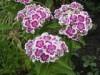 Гвоздика турецкая - Dianthus barbatus