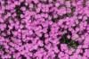 Гвоздика китайская - Dianthus chinensis