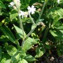 Дрема белая, беловатая, зорька белая, смолёвка белая, смолёвка луговая - Melandrium album (Mill.) Garcke. ,