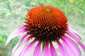 Эхинацея пурпурная - Echinacea purpurea