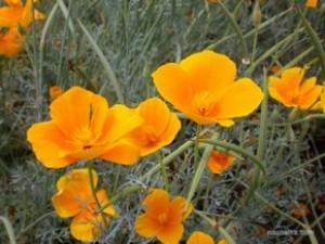 Эшшольция калифорнийская - Eschscholzia californica