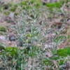 Овсяница овечья (Festuca ovina L.)
