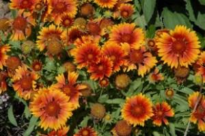 Гайлардия красивая - Gaillardia pulchella