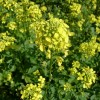 Горчица сарептская, сизая (Brassica juncea L.)