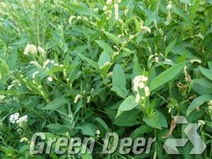 Горец развесистый, щавелелистный, персикария развесистая. - Persicaria lapathifolia (L.) S.F. Gray.