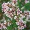 Гречиха обыкновенная (Fagopyrum esculentum)