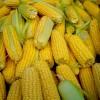 Кукуруза сахарная (Zea mays L. ssp. mays)