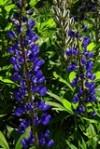Люпин многолетний - Lupinus perennis