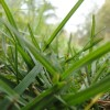 Мятлик луговой (Poa pratensis L.)