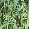 Овёс посевной, кормовой, обыкновенный (Avena sativa L.)