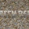 Овсяница тростниковая (Festuca arundinacea L.) - Семена