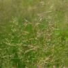 Полевица белая (Agrostis alba)