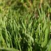 Полевица побегоносная (Agrostis stolonifera L.)