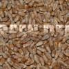 Пшеница мягкая озимая (Triticum aestivum L.) - Семена