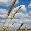 Пшеница (Triticum)