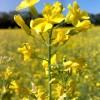 Рапс масличный (яровой)  (Brassica napus annua L. ssp. oleifera Metzg. )