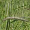 Рожь посевная озимая (Secale cereale)