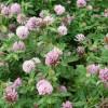 Клевер гибридный, (розовый) (Trifolium hybridum L.)