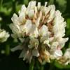 Клевер ползучий, (белый) (Trifolium repens L.)