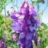 Вика озимая, (мохнатая) (Vicia villosa)
