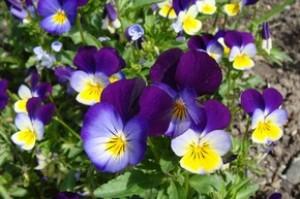 Фиалка рогатая - Viola cornuta